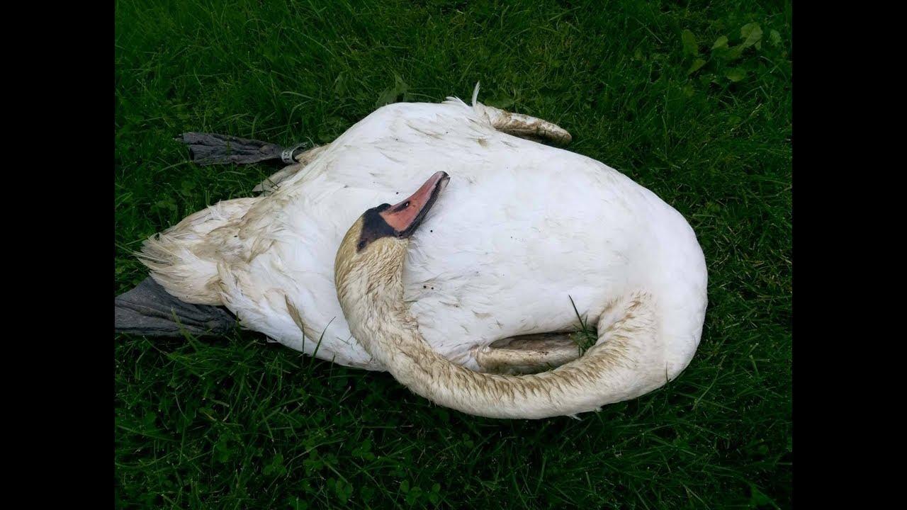 Úhyn labutí v Ostrově